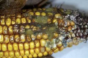 ISU Aspergillus Corn